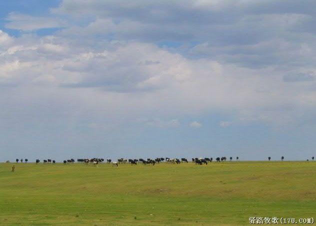 格根塔拉草原上的牛和羊
