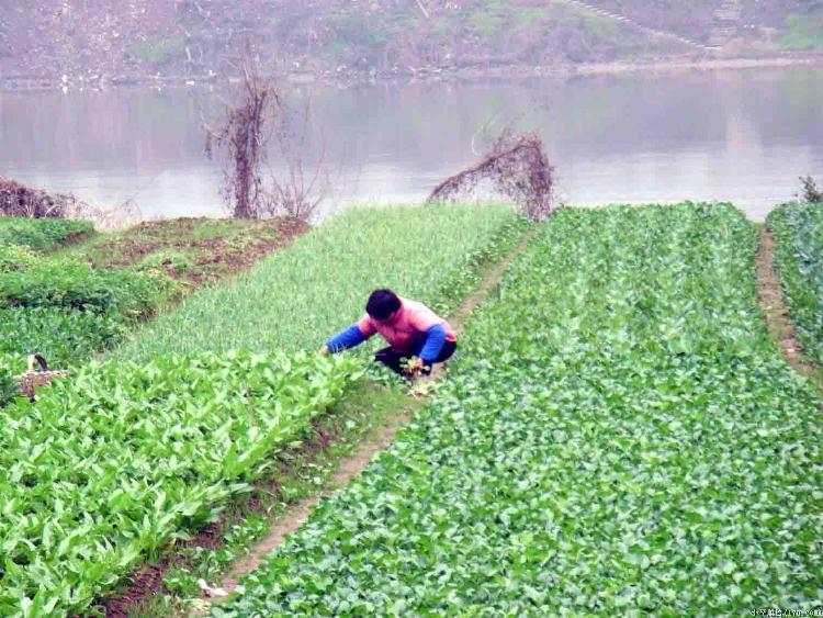 种菜是岛上居民的主要经济来源